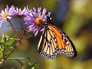 Faire la cour aux pollinisateurs