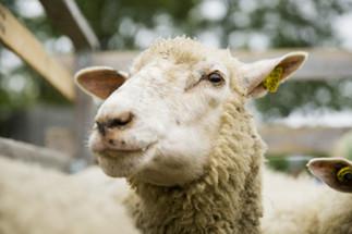 Quelle place pour les animaux de ferme en ville?