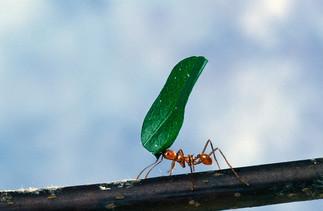 Le retour des fourmis Atta