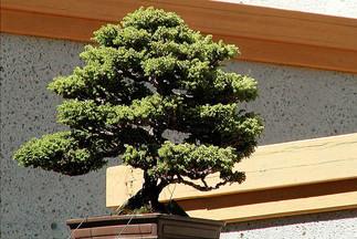 Cour des arbres miniatures nord-américains