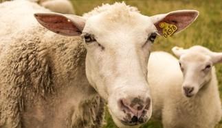 Des moutons au Jardin