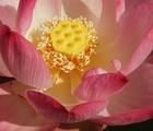 Au rythme des plantes : intrigant lotus