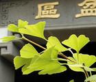 Au rythme des plantes : merveilleux ginkgo!