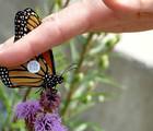 The Monarch Odyssey