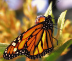 Reverence: The Monarch Project