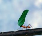 Les fourmis Atta