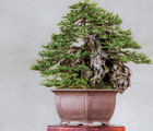 Miniature Tree Exhibition