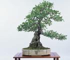 La création d'un bonsaï