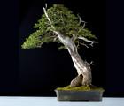 Exposition d'arbres miniatures