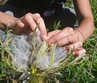Up close with an Expert - Operation Save Mingan thistle