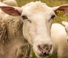 Sheep at the Jardin botanique