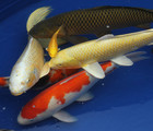 All about Japanese Koi Carp