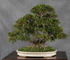 Annual bonsai and penjing exhibition